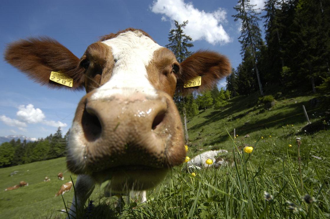 Magda die kuh