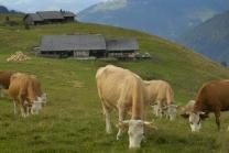 Kuh Patenschaft - Leasen Sie eine Kuh für 1 Monat