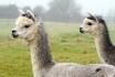 Trekking avec des lamas-Excursion en famille 1