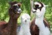 Trekking avec des lamas-Excursion en famille 2