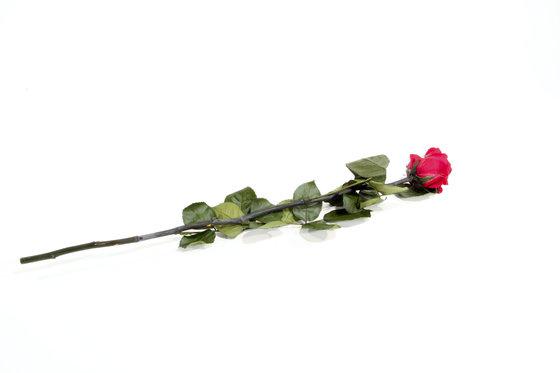 Ewig blühende Rose - in 2 verschiedenen Farben 1