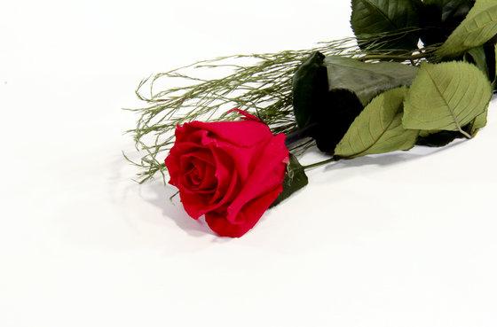 Ewig blühende Rose - in 2 verschiedenen Farben 2