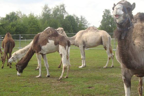 Monter à dos de chameau - Pour les enfants  [article_picture_small]