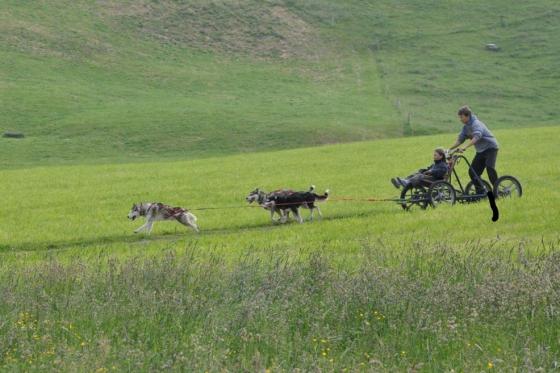 Wagentraining mit Huskies - Die Kraft der Huskies erleben  [article_picture_small]