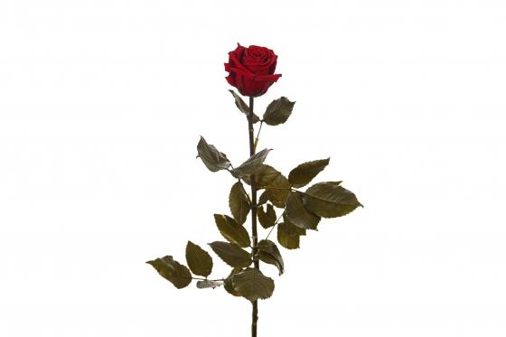 Ewig blühende Rose 50cm - in dunkelrot