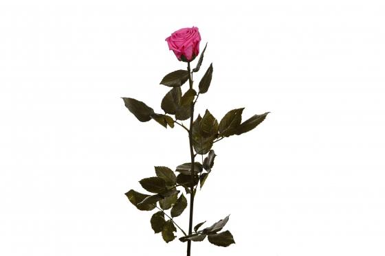 Ewig blühende Rose 50cm - in pink