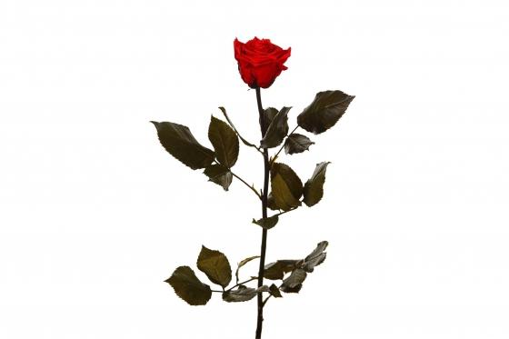 Ewig blühende Rose 30cm - in feuerrot