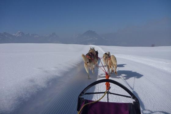 Schlittenhunde Tageskurs - Husky Erlebnis für einen Tag  [article_picture_small]