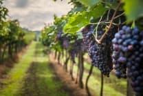 Weindegustation für zwei - Besuch in der Domaine des Remans (VD), Aperitif und Gratisflaschen